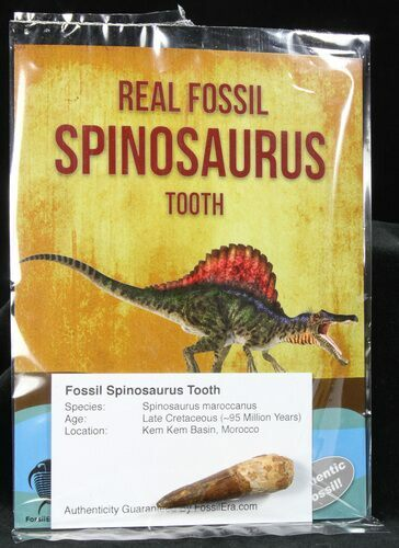 Real Fossil Spinosaurus Teeth (Pre-packaged) - Morocco - Photo 1