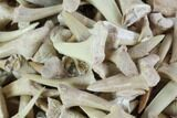 1 LB Partial Fossil Shark Teeth - 1,000+ pieces - Photo 5