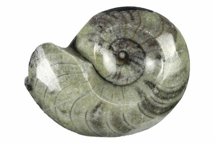 "2-3"" Polished Fossil Goniatites - Photo 1"