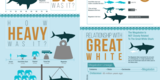 "24x36"" Megalodon Infographic Poster (Matte) - Photo 3"