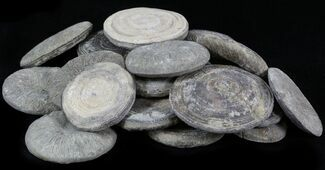 Bulk Coral (Cyclolites) Fossils- 25 Pack