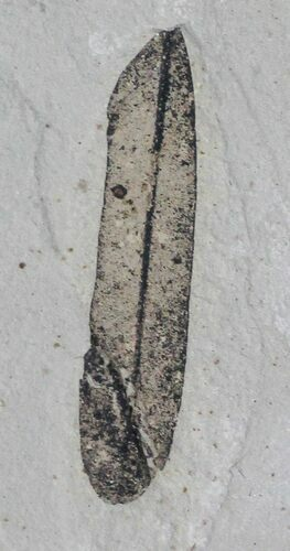 "1.2"" Fossil Leaf (Mimosites) - Green River Formation"
