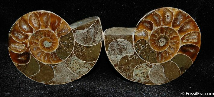 1.2 Inch Wide Cut/Polished Desmoceras Ammonite