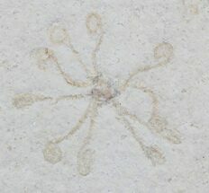 Floating Crinoid (Saccocoma) - Solnhofen Limestone For Sale, #22466