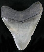 Carcharocles megalodon - Fossils For Sale - #22563
