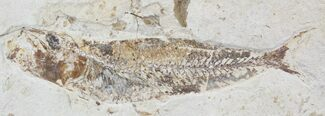 Scombroclupea (Kner, 1863) - Fossils For Sale - #24120