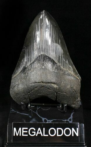 "Serrated 4.94"" Megalodon Tooth - South Carolina"