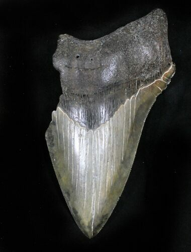 "Partial, Serrated 4.89"" Megalodon Tooth - South Carolina"