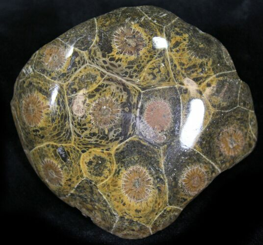 "2"" Polished Fossil Coral Head - Morocco"