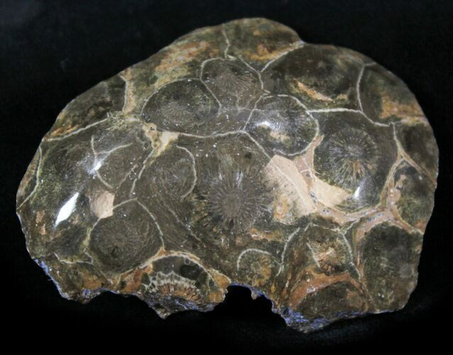"2.3"" Polished Fossil Coral Head - Morocco"