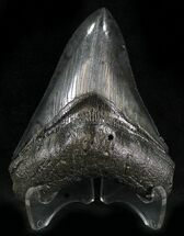 Carcharocles megalodon - Fossils For Sale - #25659