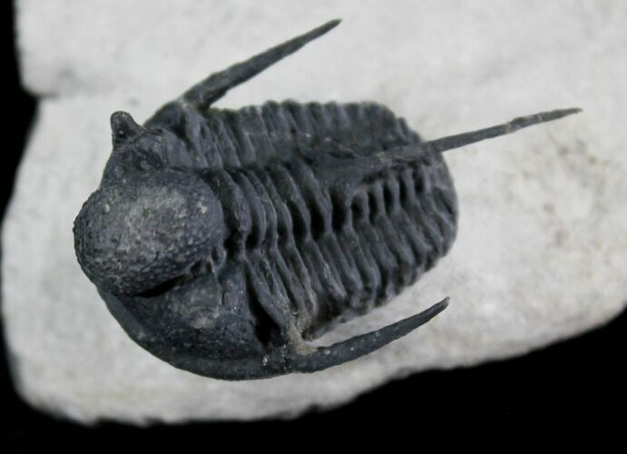 "Huge 1.65"" Cyphaspis Trilobite From Morocco"