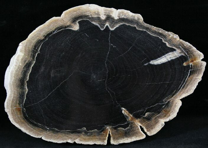 "8.4"" Petrified Wood (Tropical Hardwood) Slab - Indonesia"
