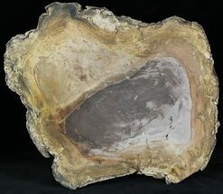 "8"" Polished Petrified Wood Round -  Sweethome, Oregon For Sale, #25854"