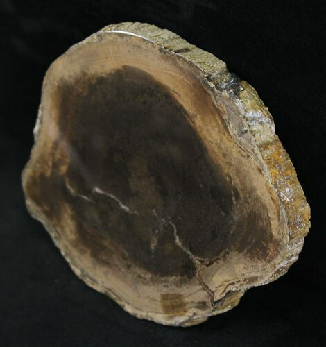 "5.7"" Petrified Wood Slab -  Sweethome, Oregon"
