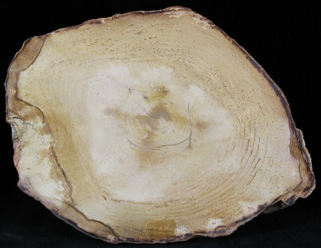 "5.8"" Petrified Wood Slab -  Sweethome, Oregon"