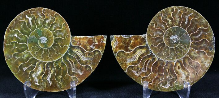 "3.18"" Polished Ammonite Pair - 110 Million Years"