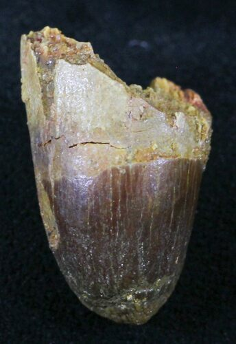".91"" Cretaceous Fossil Crocodile Tooth - Morocco"