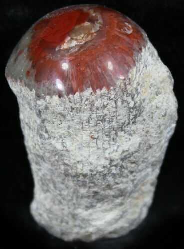 Pennsylvanian Aged Red Agatized Horn Coral - Utah