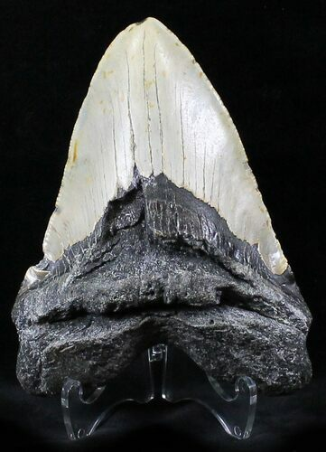 "Large 5.19"" Megalodon Tooth - North Carolina"
