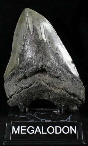 "Large 5.73"" Megalodon Tooth - South Carolina"