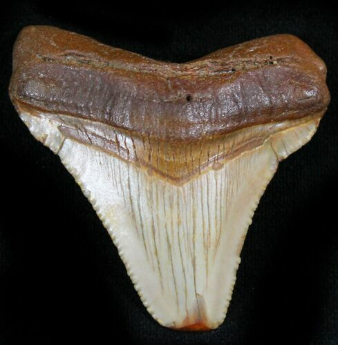 "1.85"" Chubutensis Tooth - Megalodon Ancestor"