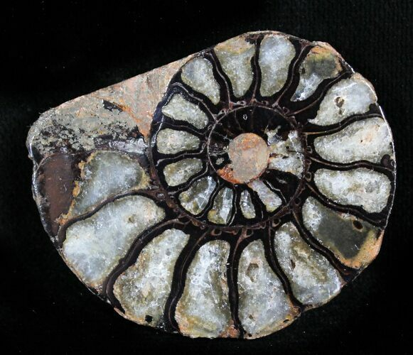 "1.45"" Iron Replaced Ammonite Fossil (Half)"