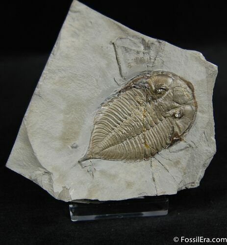 2.7 Inch Dalmanites Trilobite - Great Value