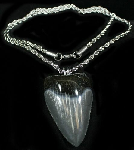 "Serrated 2"" Juvenile Megalodon Tooth Necklace"