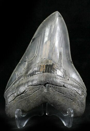 "Sharply Serrated 5.01"" Megalodon Tooth - South Carolina"