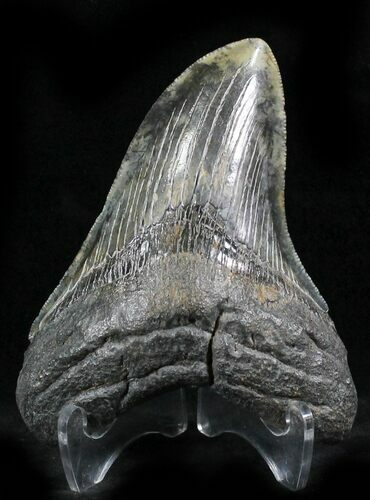 "Beautiful Calico 4.36"" Megalodon Tooth - South Carolina"