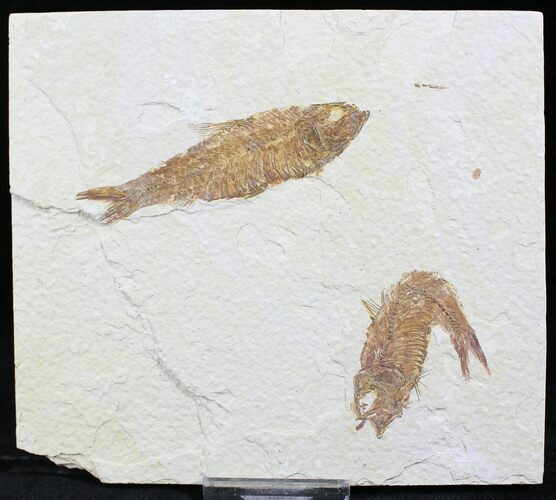 Multiple Knightia Fossil Fish Plate - 5.5x5""