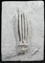 "Large, 3.8"" Parascytalocrinus Crinoid - Crawfordsville, Indiana For Sale, #27554"