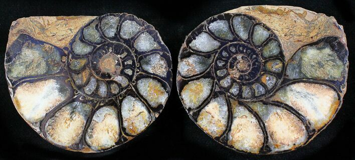 "1.9"" Iron Replaced Ammonite Fossil Pair"