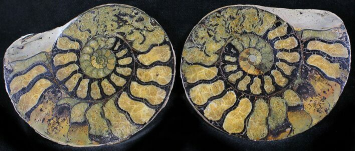 "2.6"" Iron Replaced Ammonite Fossil Pair"