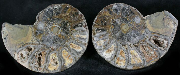 "2.5"" Iron Replaced Ammonite Fossil Pair"
