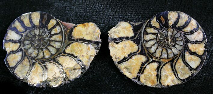 "1.3"" Iron Replaced Ammonite Fossil Pair"
