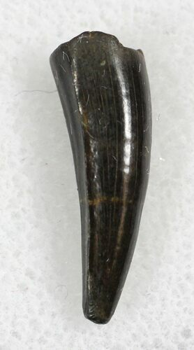 ".74"" Cretaceous Crocodilian Tooth - Hell Creek Formation"
