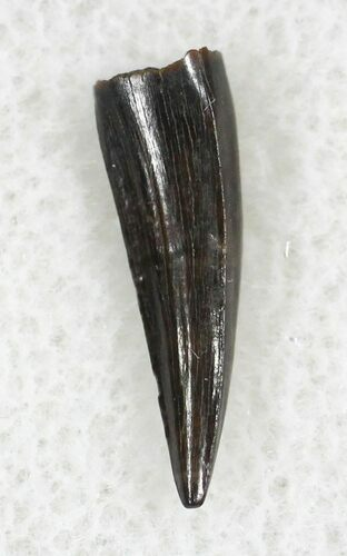".54"" Cretaceous Crocodilian Tooth - Hell Creek Formation"