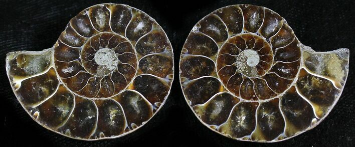 Small Desmoceras Ammonite Pair - 1.4""