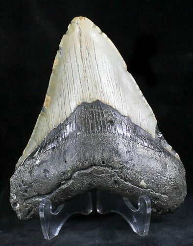 "Bargain 4.52"" Megalodon Tooth - North Carolina"