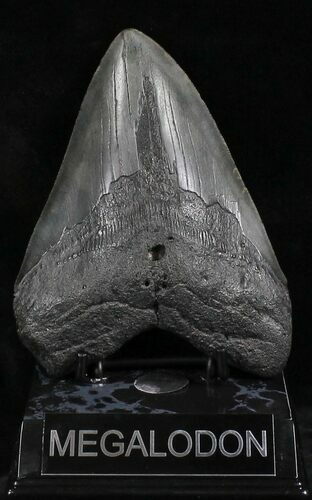 "5.23"" Megalodon Tooth - South Carolina"