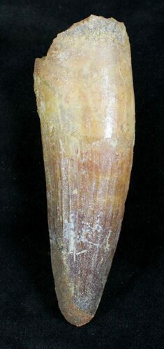"Large 3.37"" Spinosaurus Tooth"