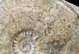 "6"" Scottish Ammonite (Ludwigia) - Rare! - #30780-3"