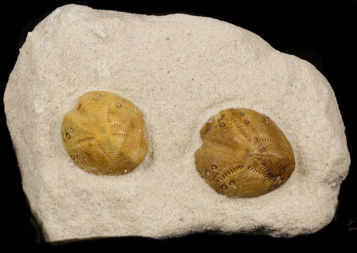 Two Lovenia Sea Urchin Fossil - Beaumaris, Australia