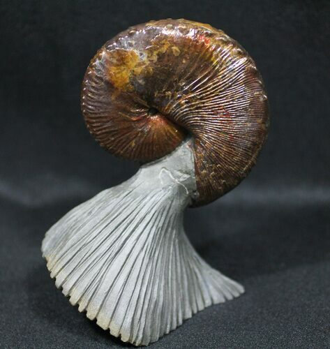World Class, Red Iridescent Hoploscaphities Ammonite