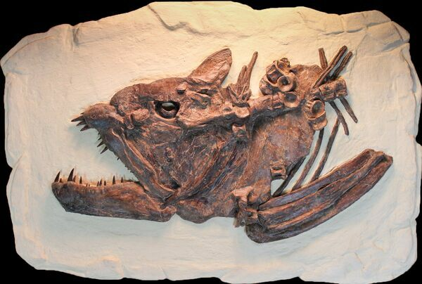 "A 25"" long, fossil skull of Xiphactinus."