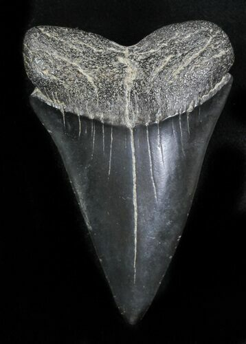 "Large 2.56"" Fossil Mako Shark Tooth - Georgia"