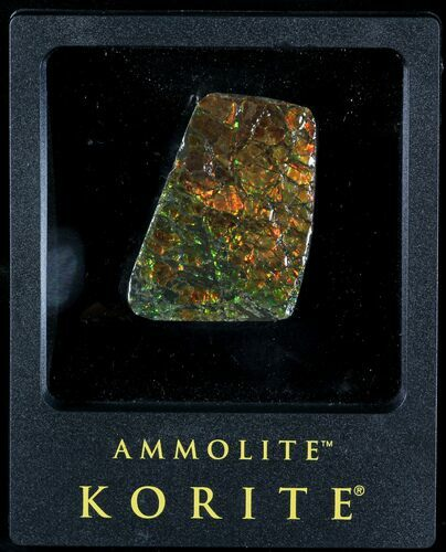 "2"" Brilliant Iridescent Ammolite With Display Case"