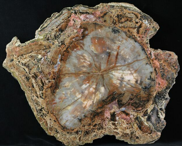 "14.4"" Petrified Wood (Araucaria) Slab With Bark - Arizona"